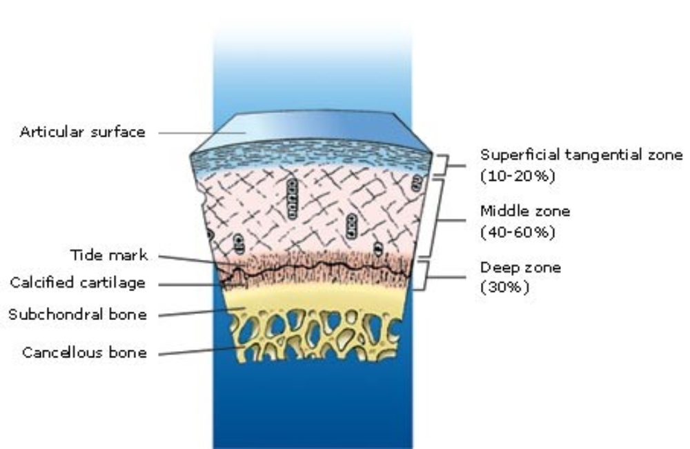 Articular Cartilage